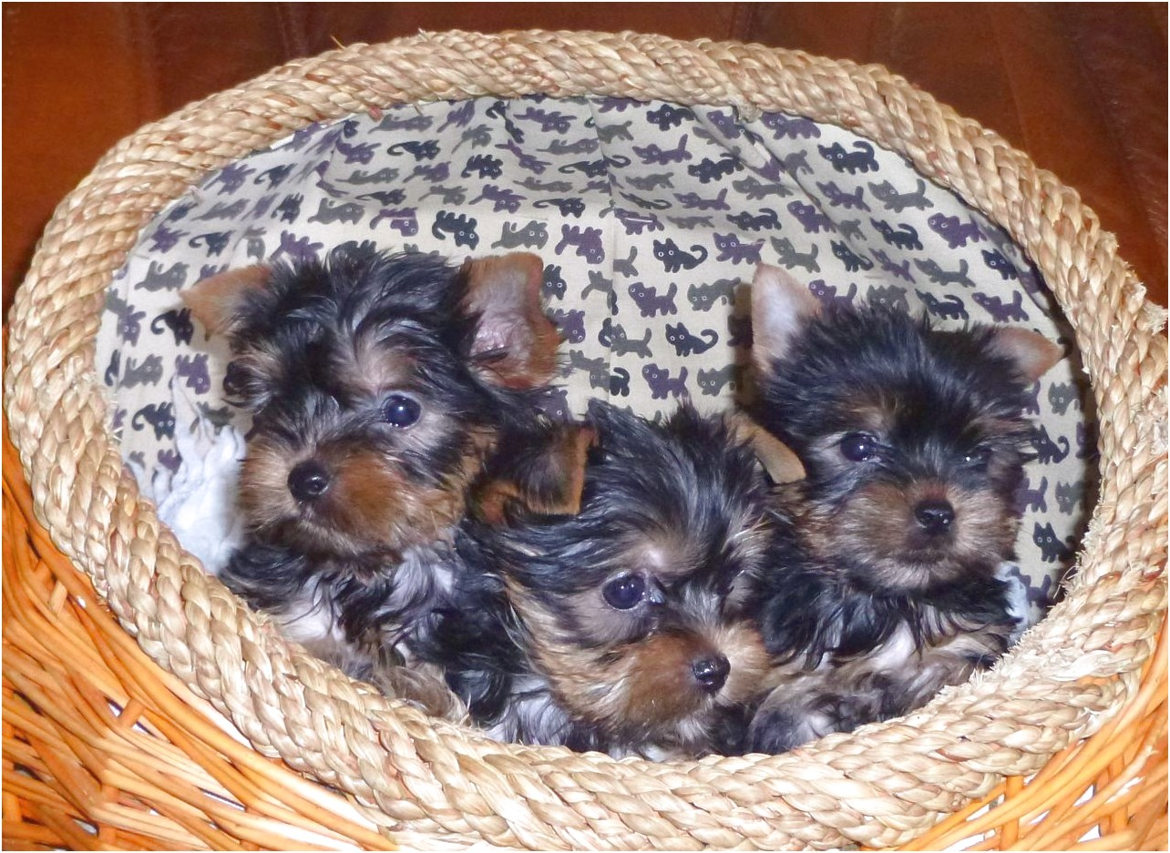 yorkshire terrier pups for sale cornwall