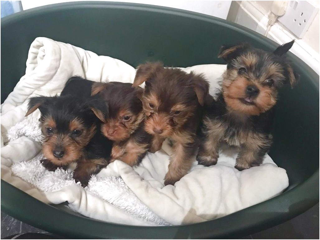 yorkshire terrier pups for sale durham