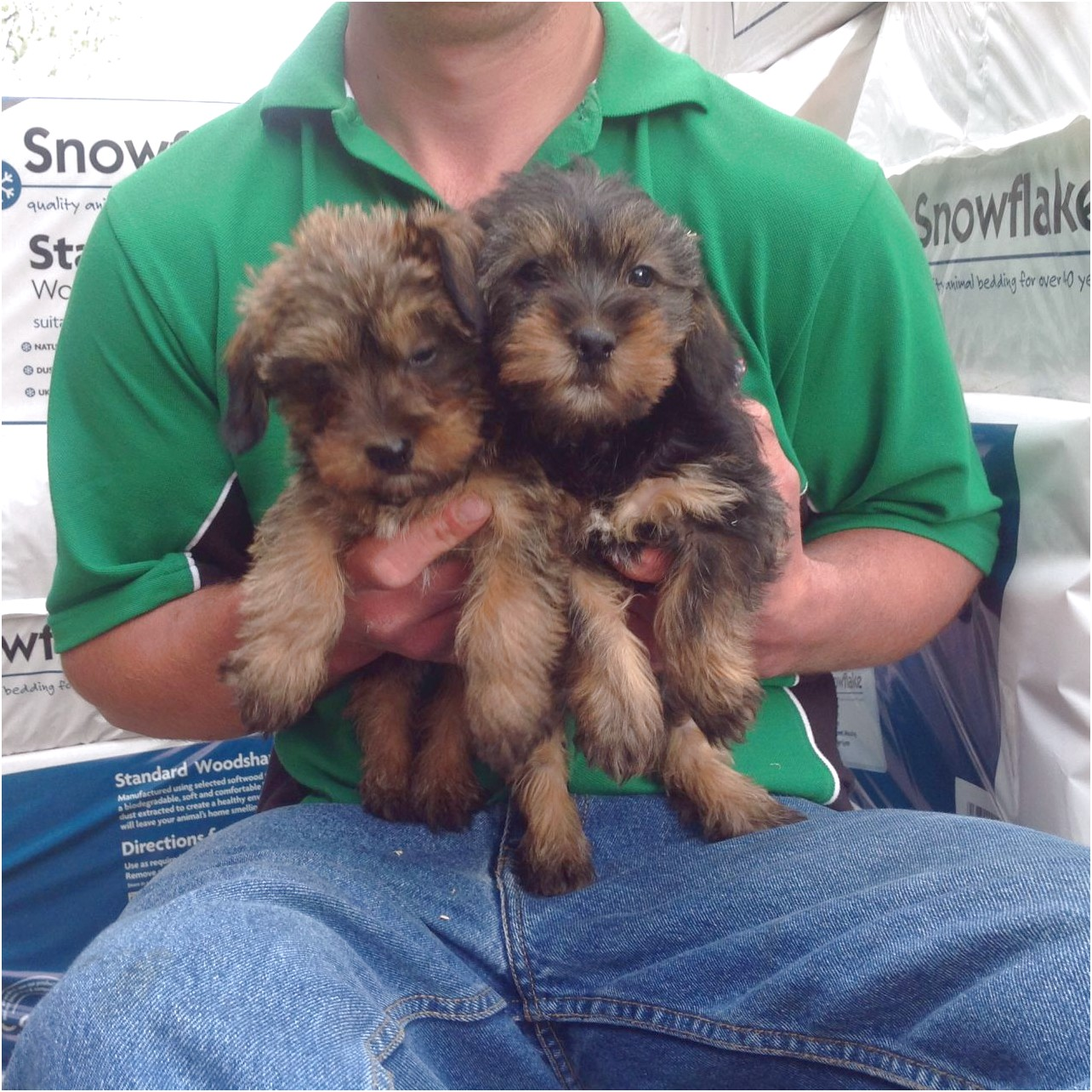 yorkshire terrier pups for sale gumtree