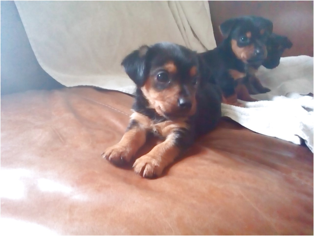 yorkshire terrier pups for sale hampshire
