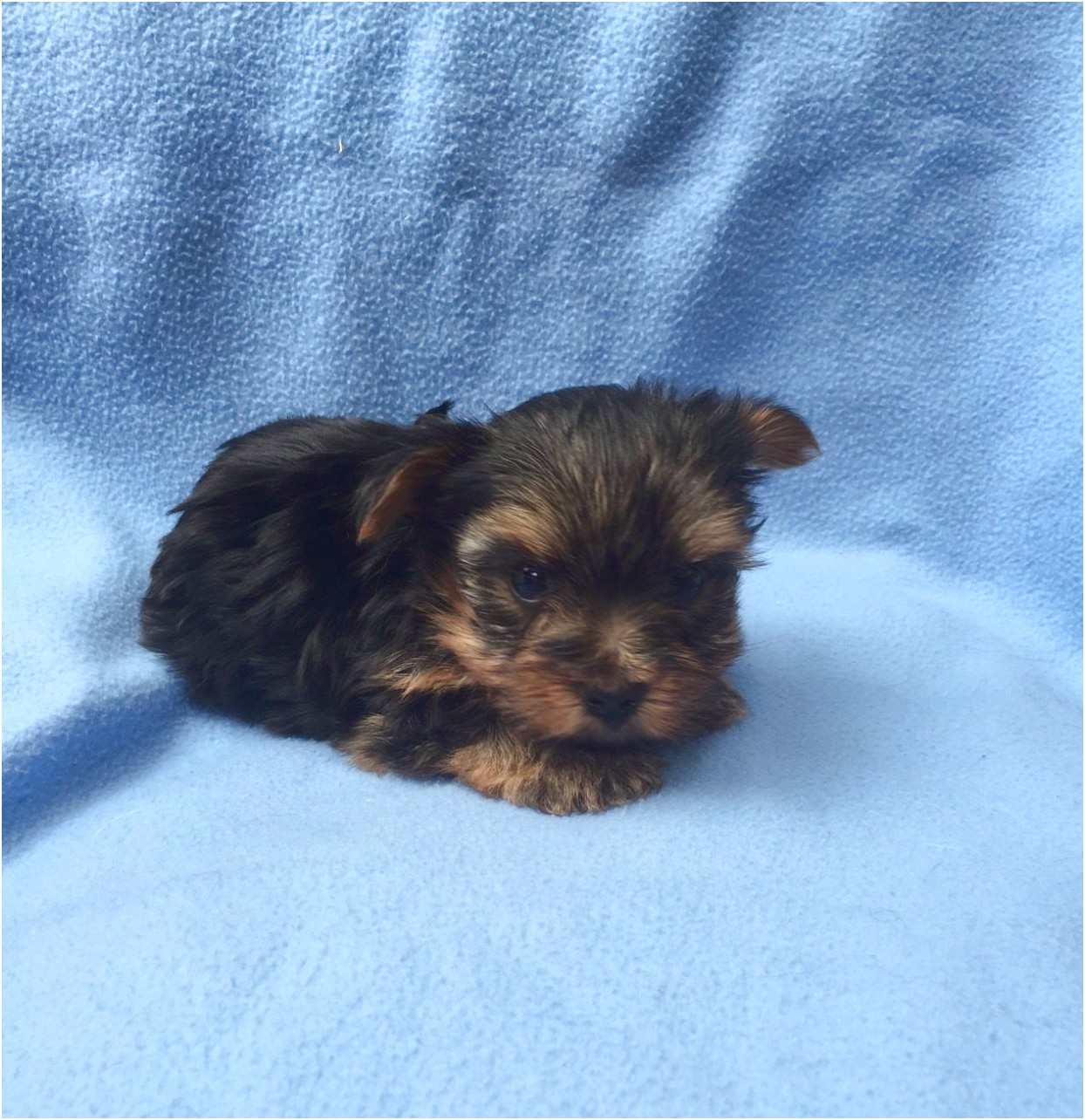 yorkshire terrier pups for sale hertfordshire