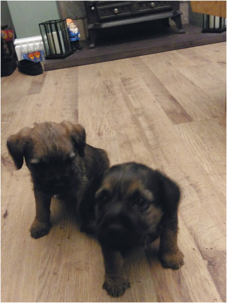 yorkshire terrier pups for sale hull
