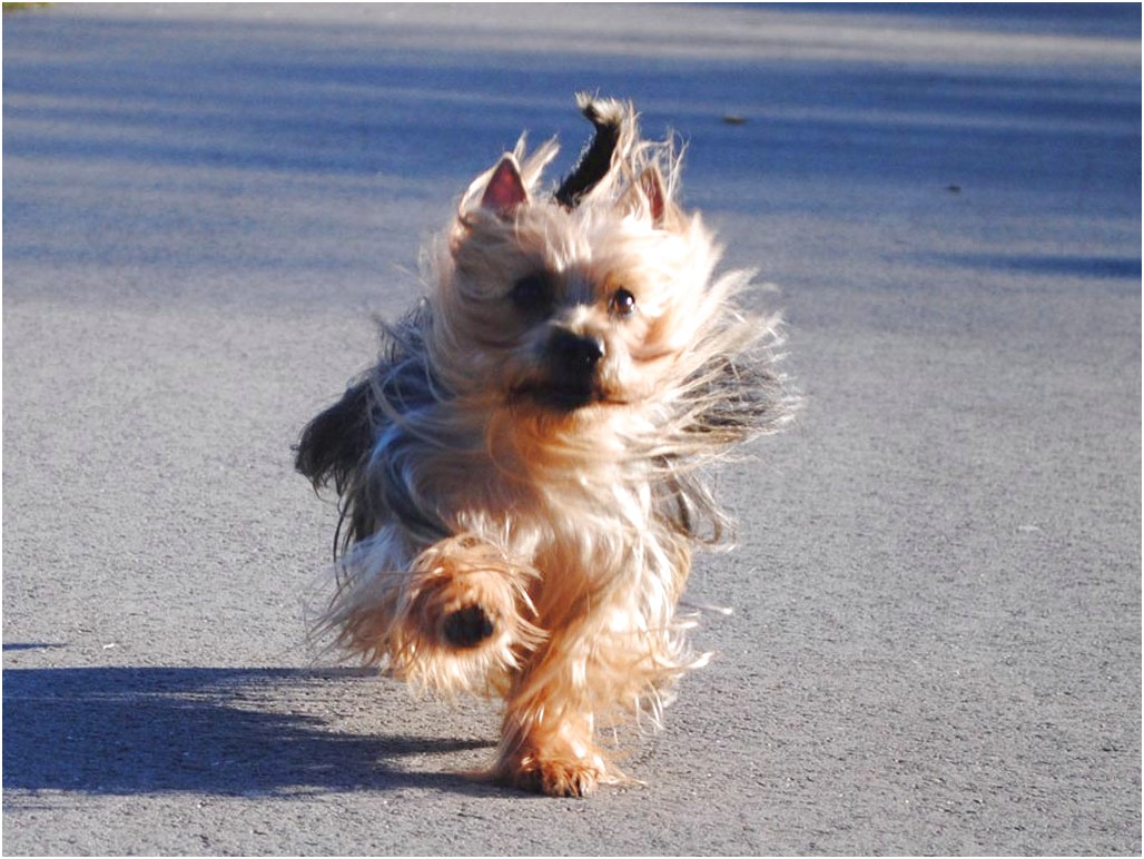 yorkshire terrier pups for sale in australia