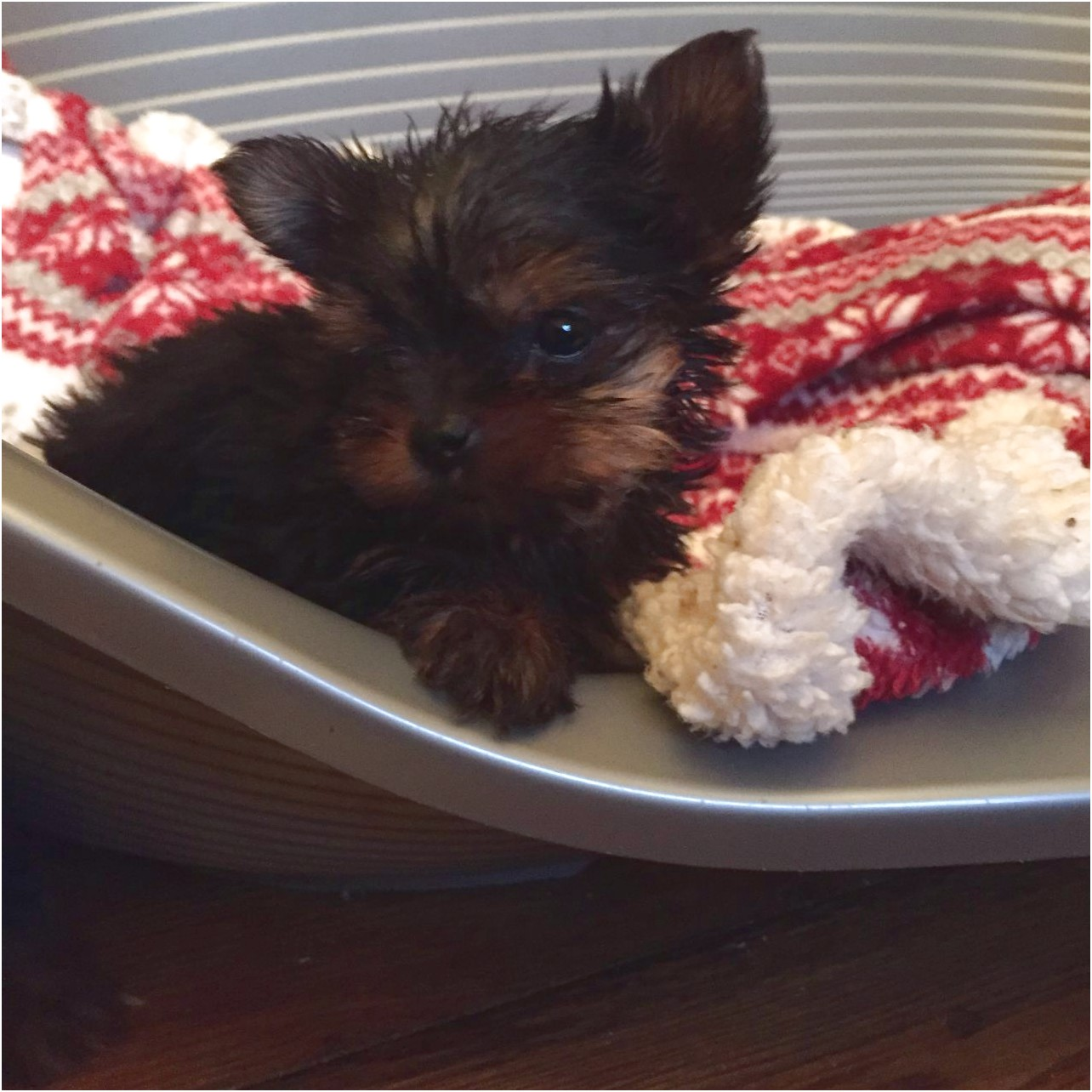 yorkshire terrier pups for sale in chesterfield
