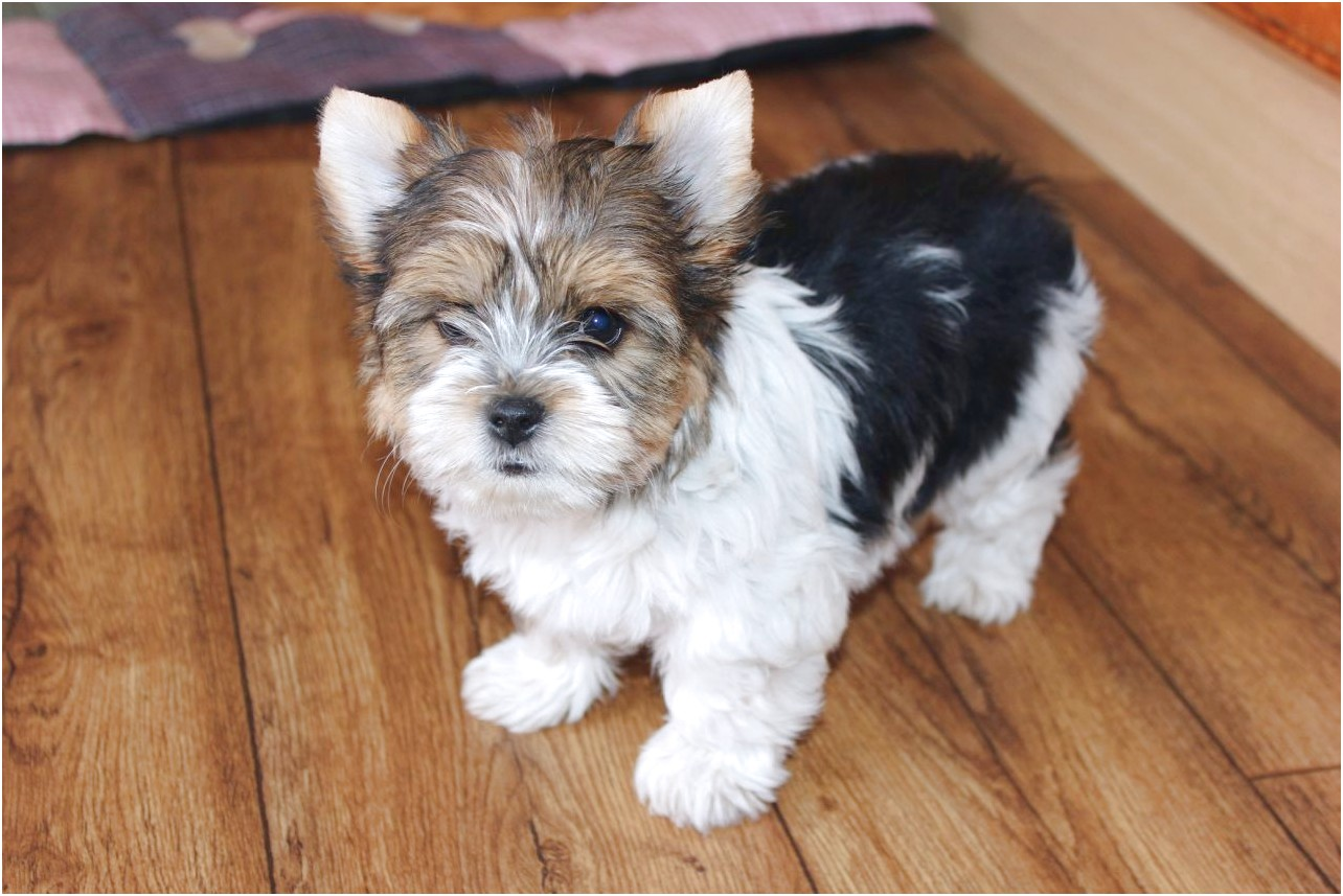 yorkshire terrier pups for sale in doncaster