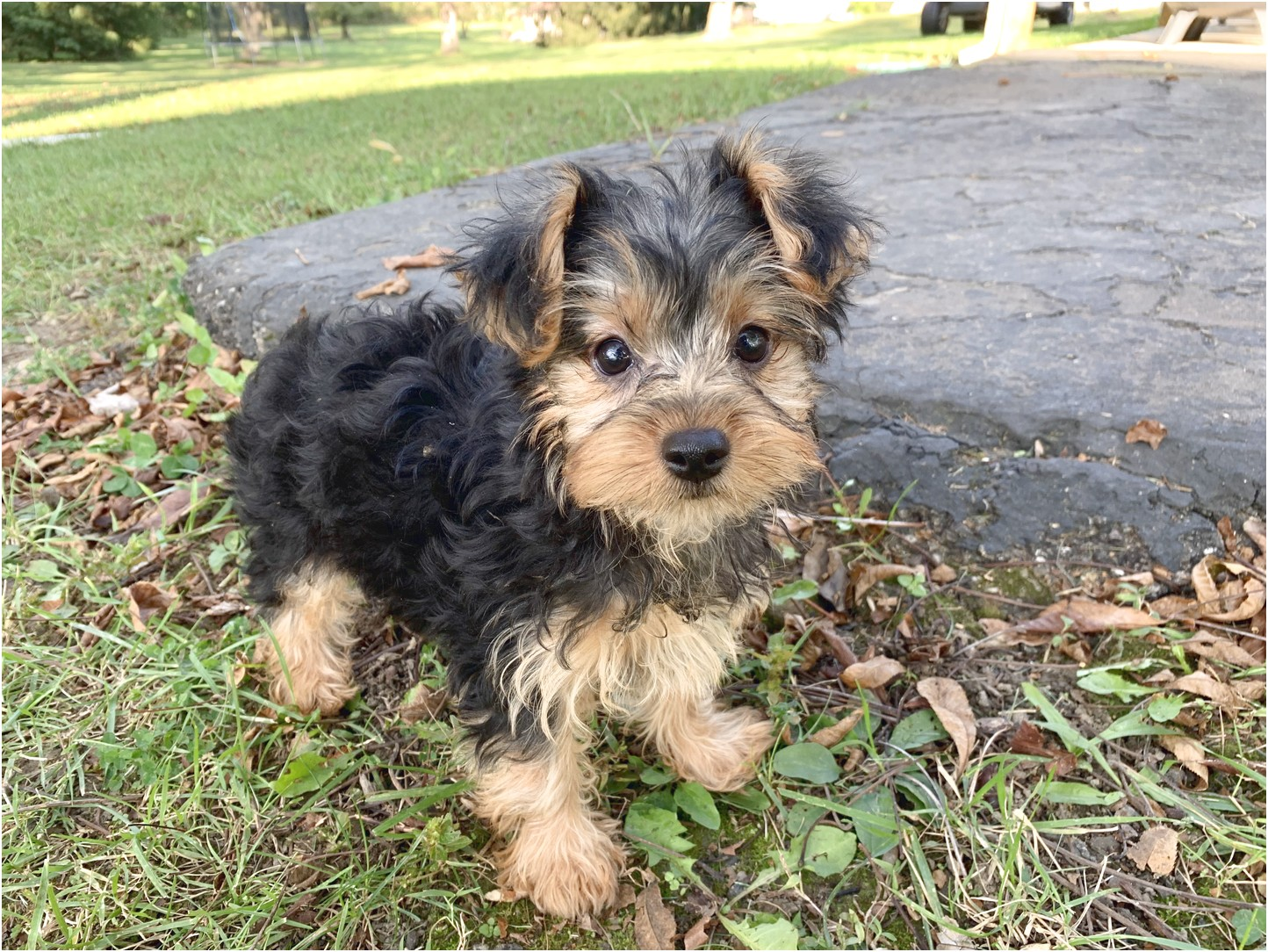 yorkshire terrier pups for sale in donegal