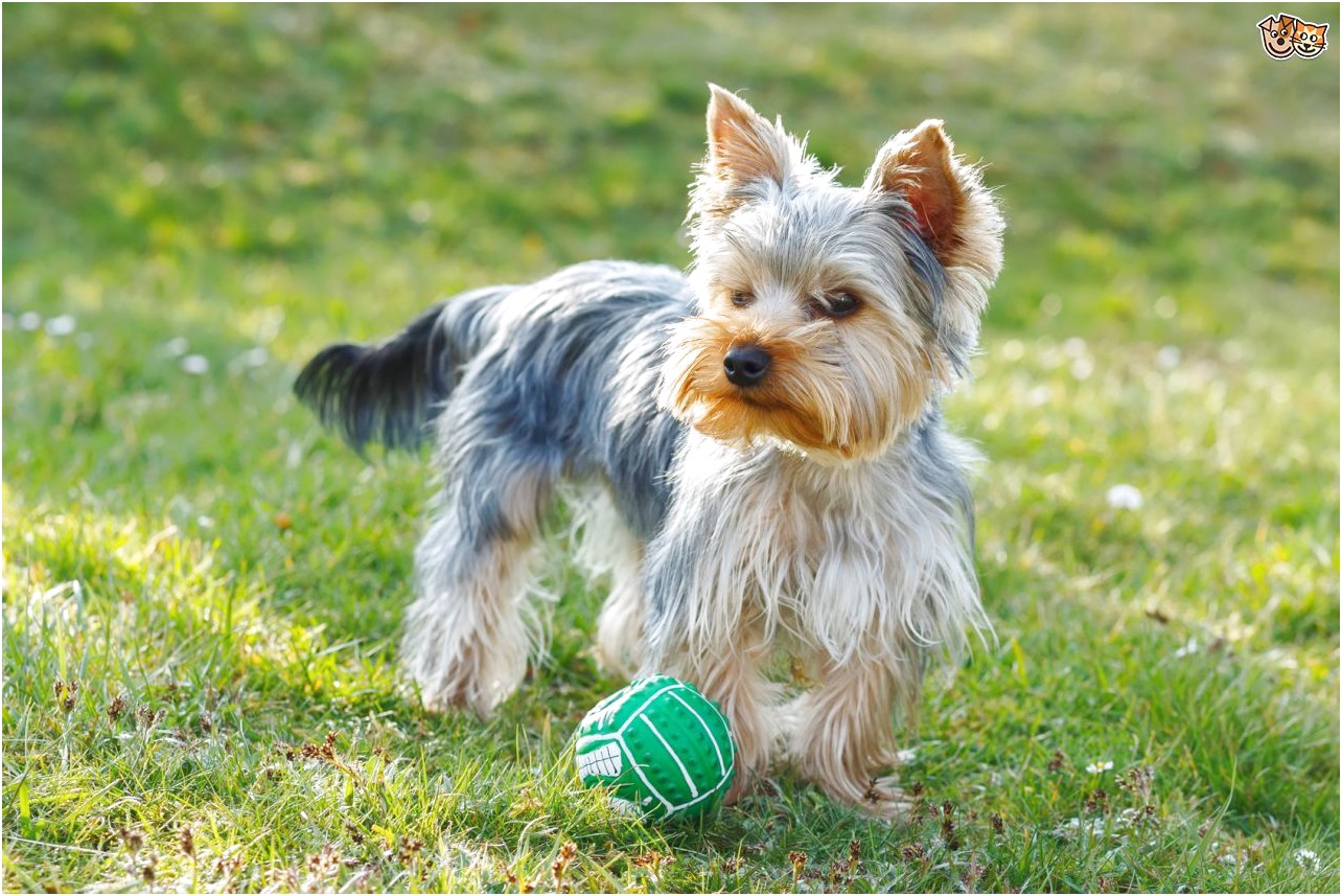 yorkshire terrier pups for sale in dublin