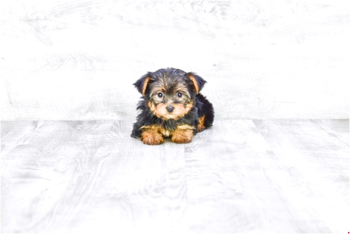 yorkshire terrier pups for sale in fife