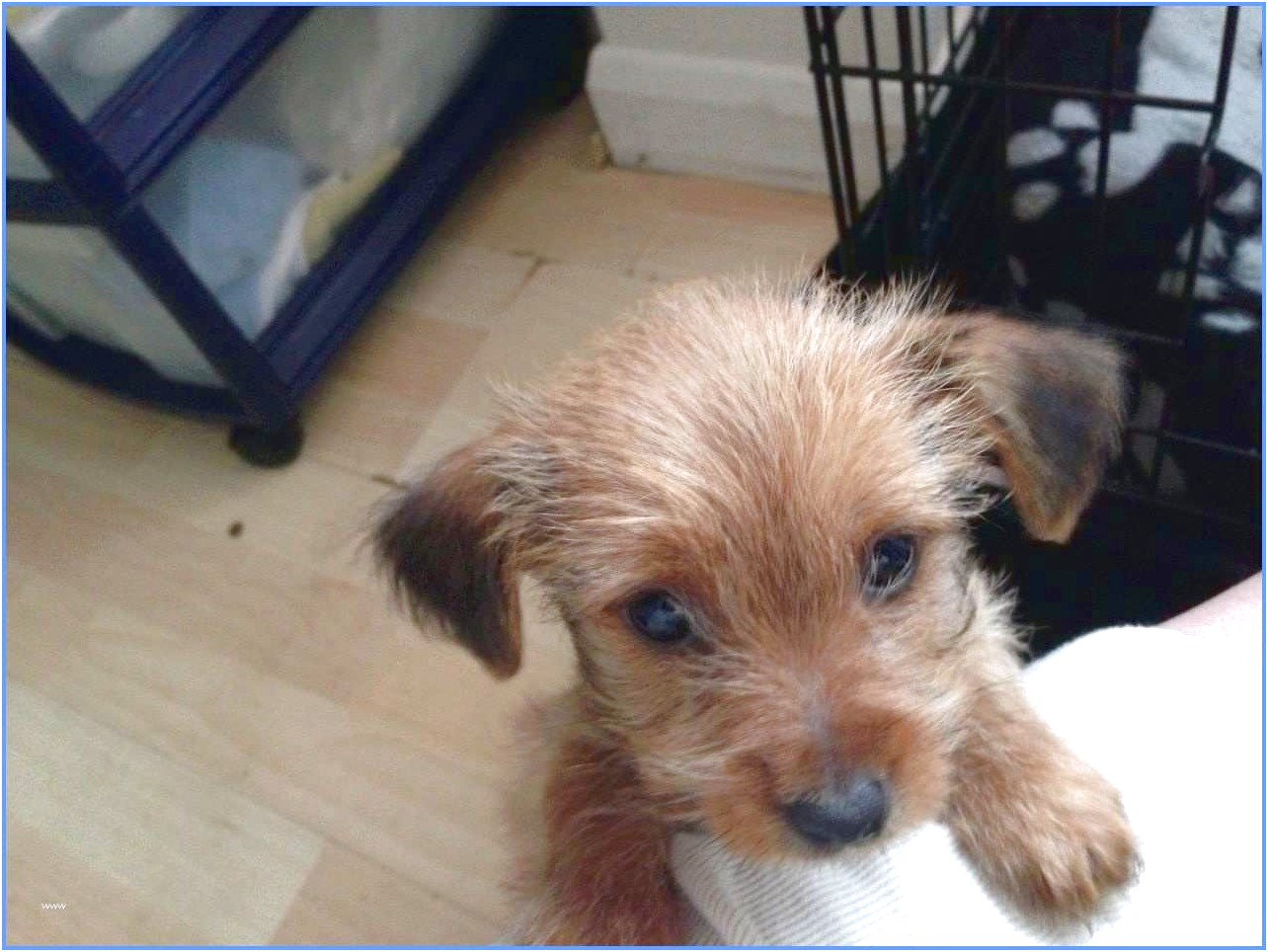 yorkshire terrier pups for sale in glasgow