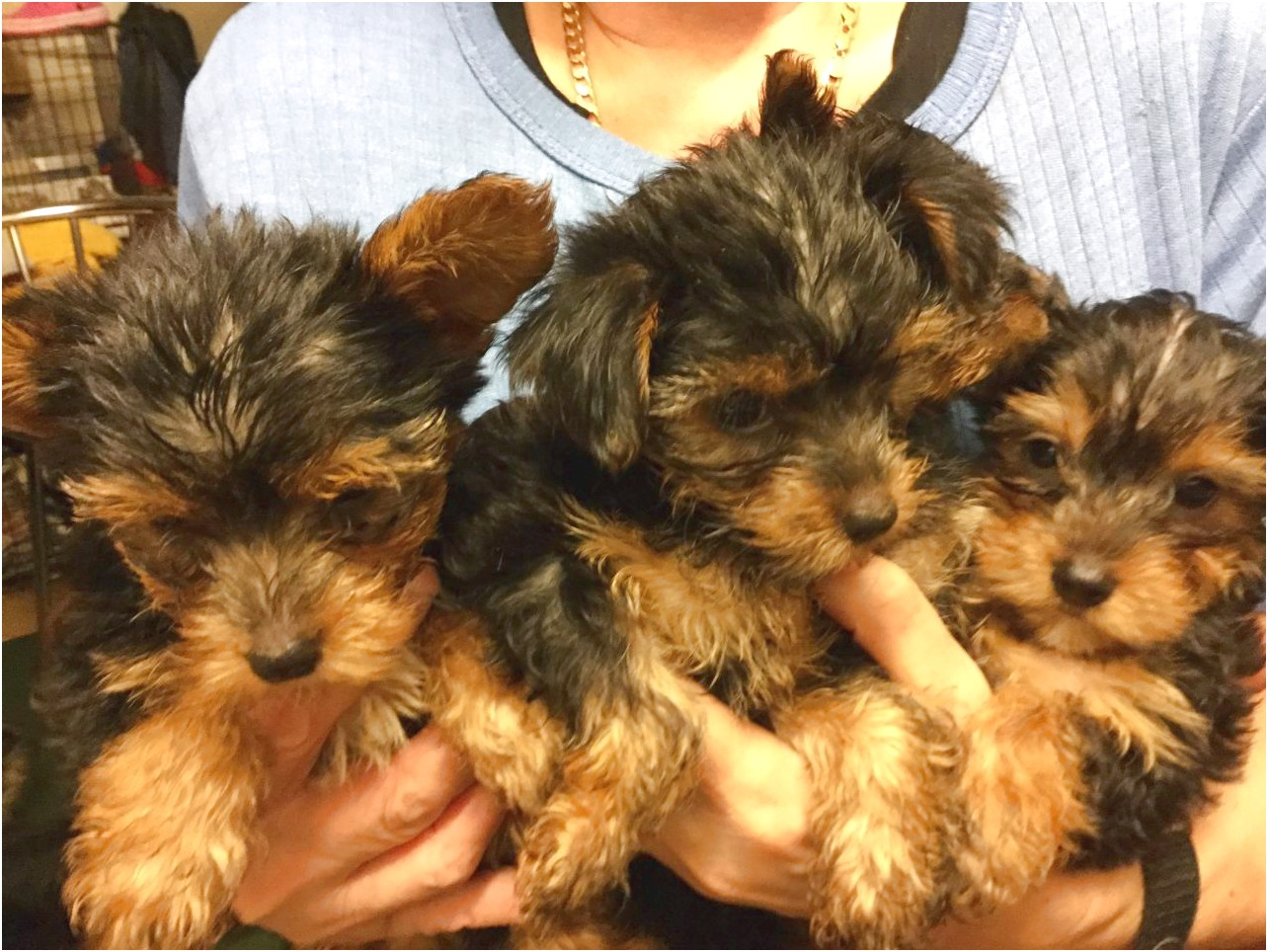 yorkshire terrier pups for sale in liverpool
