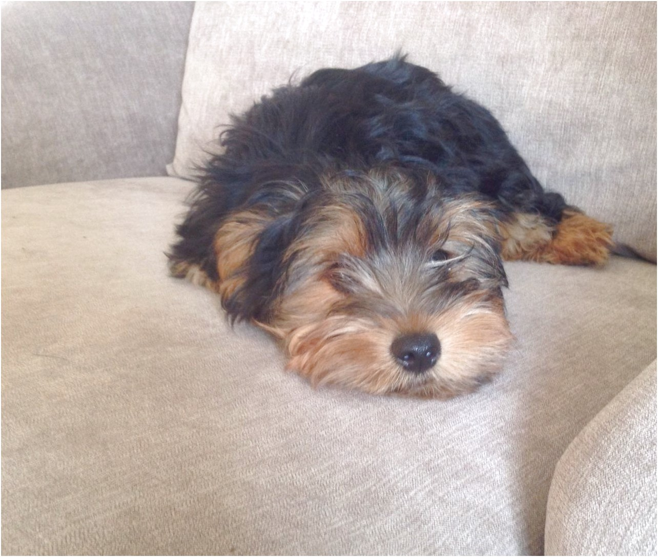 yorkshire terrier pups for sale in manchester