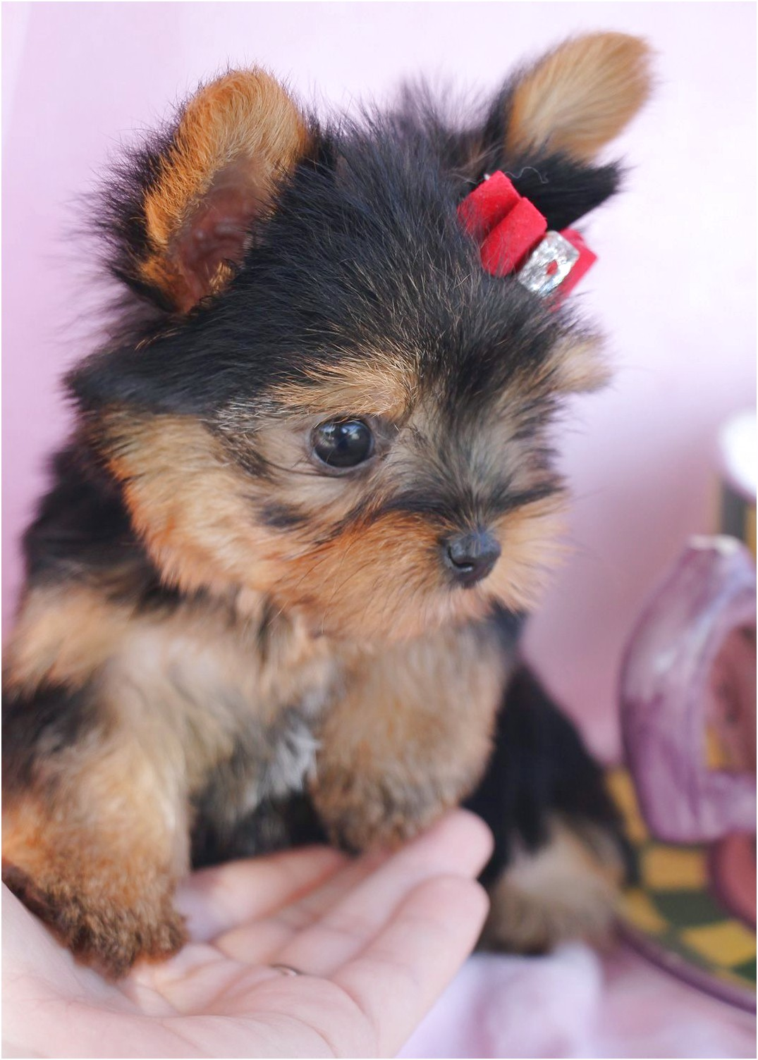 yorkshire terrier pups for sale in plymouth