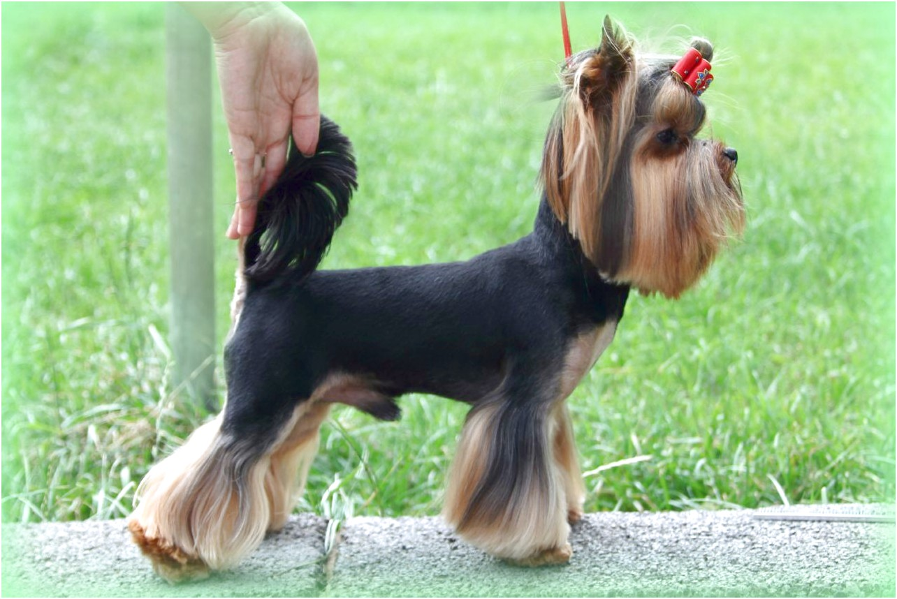 yorkshire terrier pups for sale in wigan