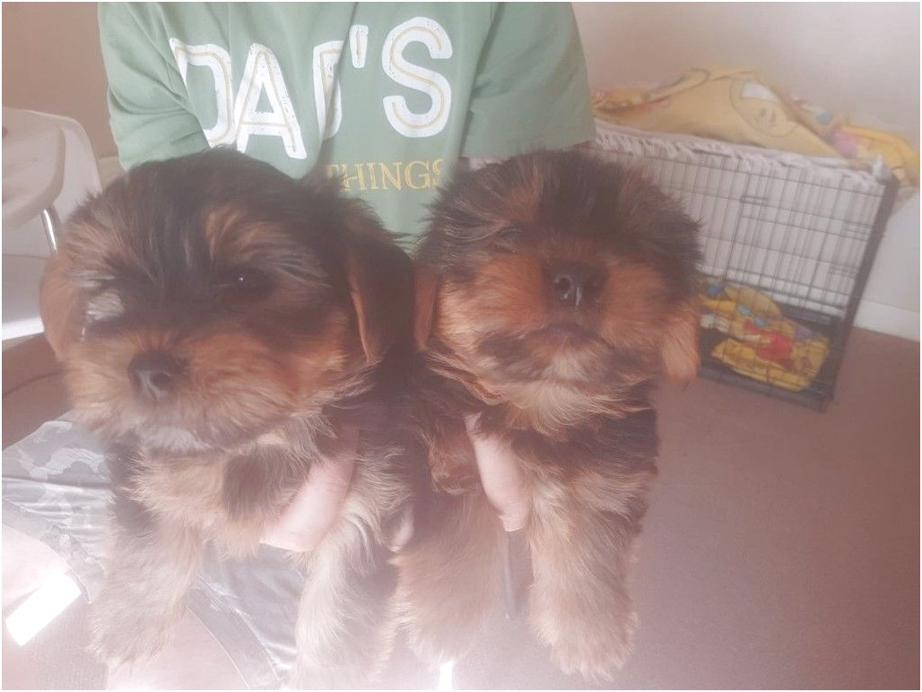 yorkshire terrier pups for sale leicester
