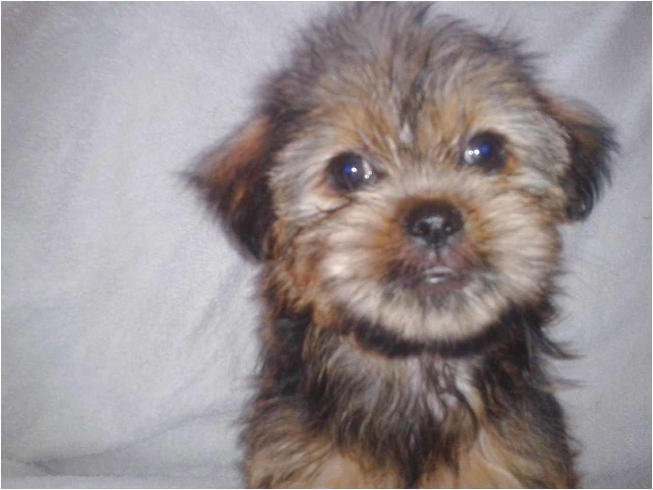 yorkshire terrier pups for sale liverpool