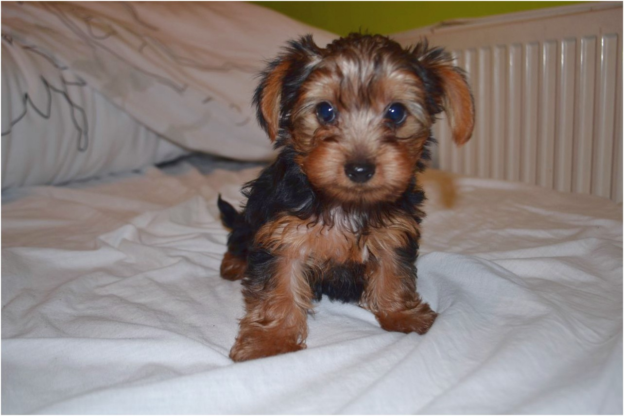 yorkshire terrier pups for sale london