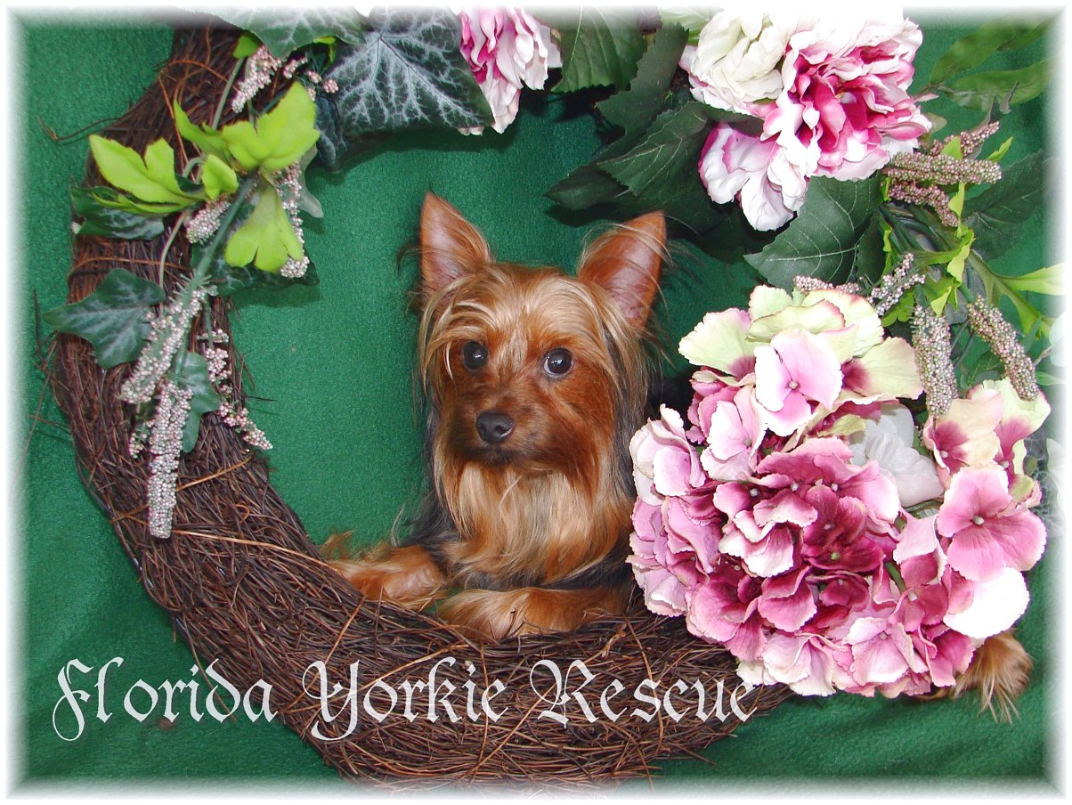 yorkshire terrier pups for sale melbourne