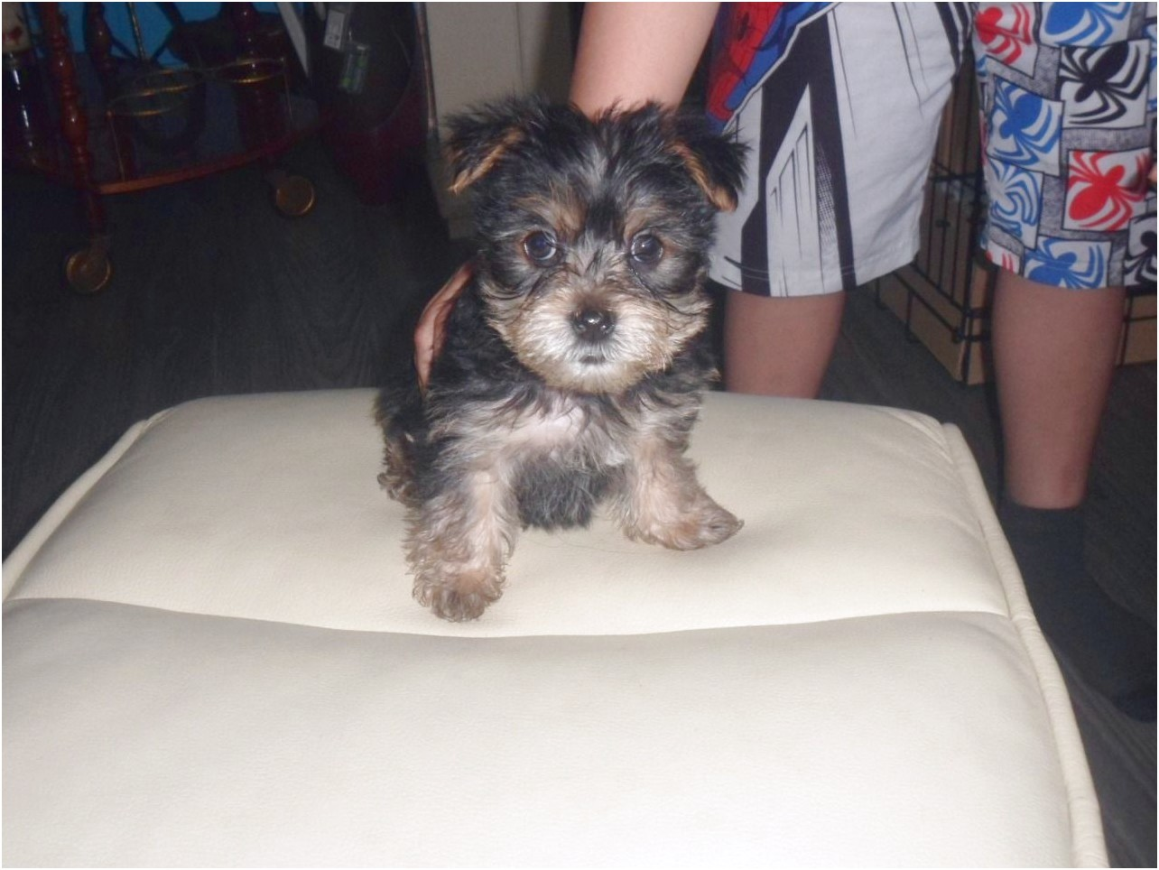 yorkshire terrier pups for sale middlesbrough
