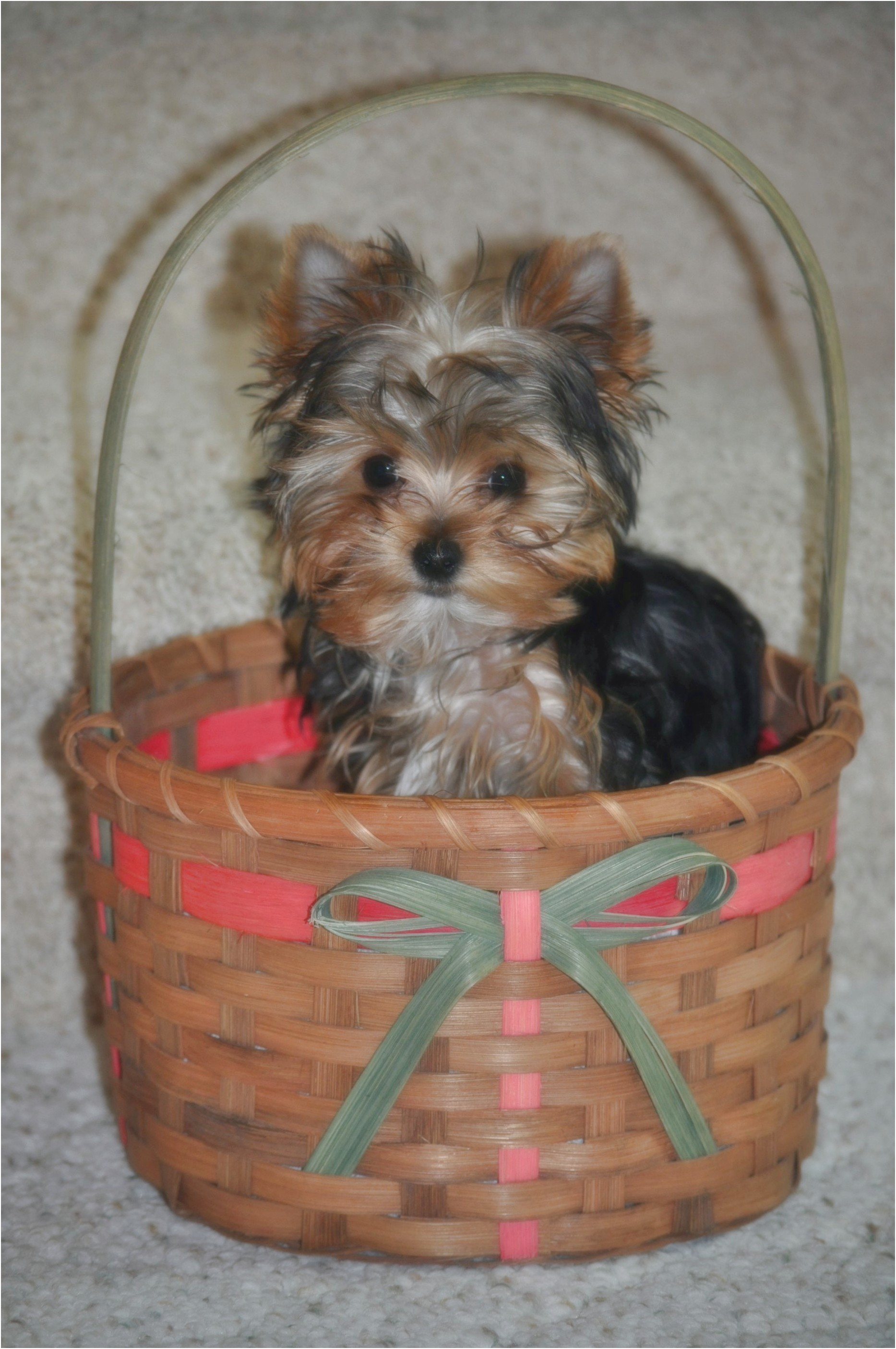 yorkshire terrier pups for sale perth