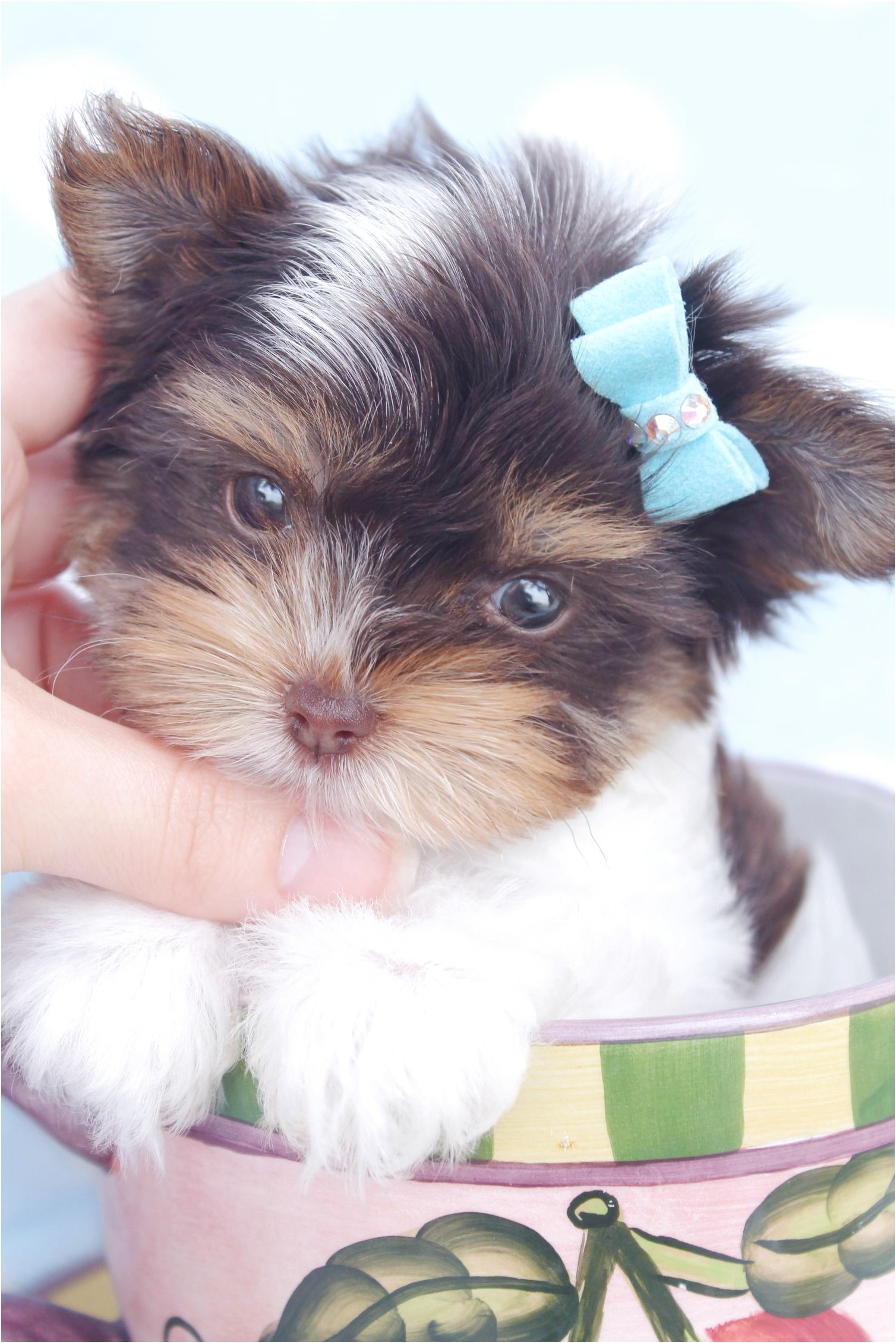 yorkshire terrier pups for sale swansea