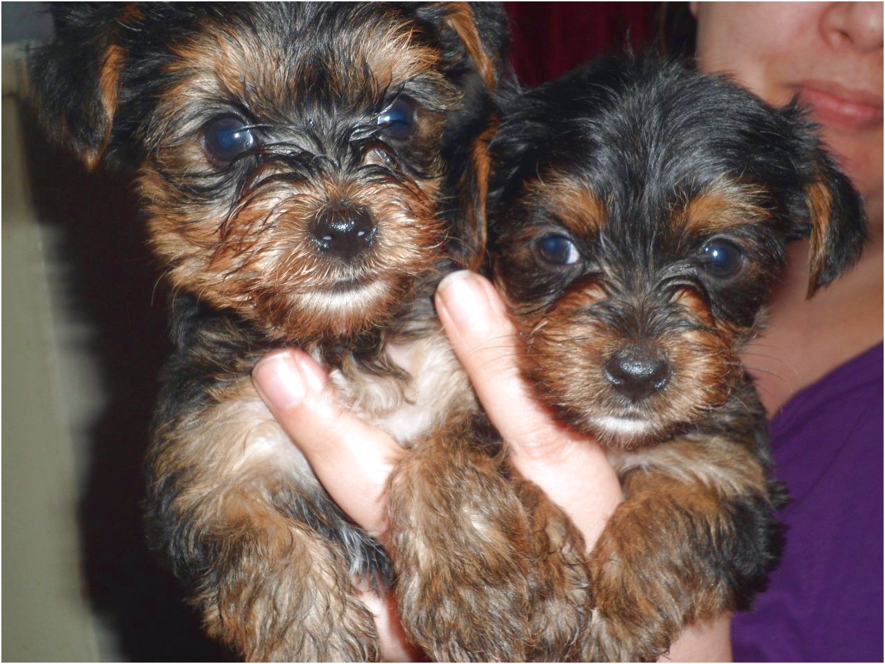 yorkshire terrier pups for sale sydney