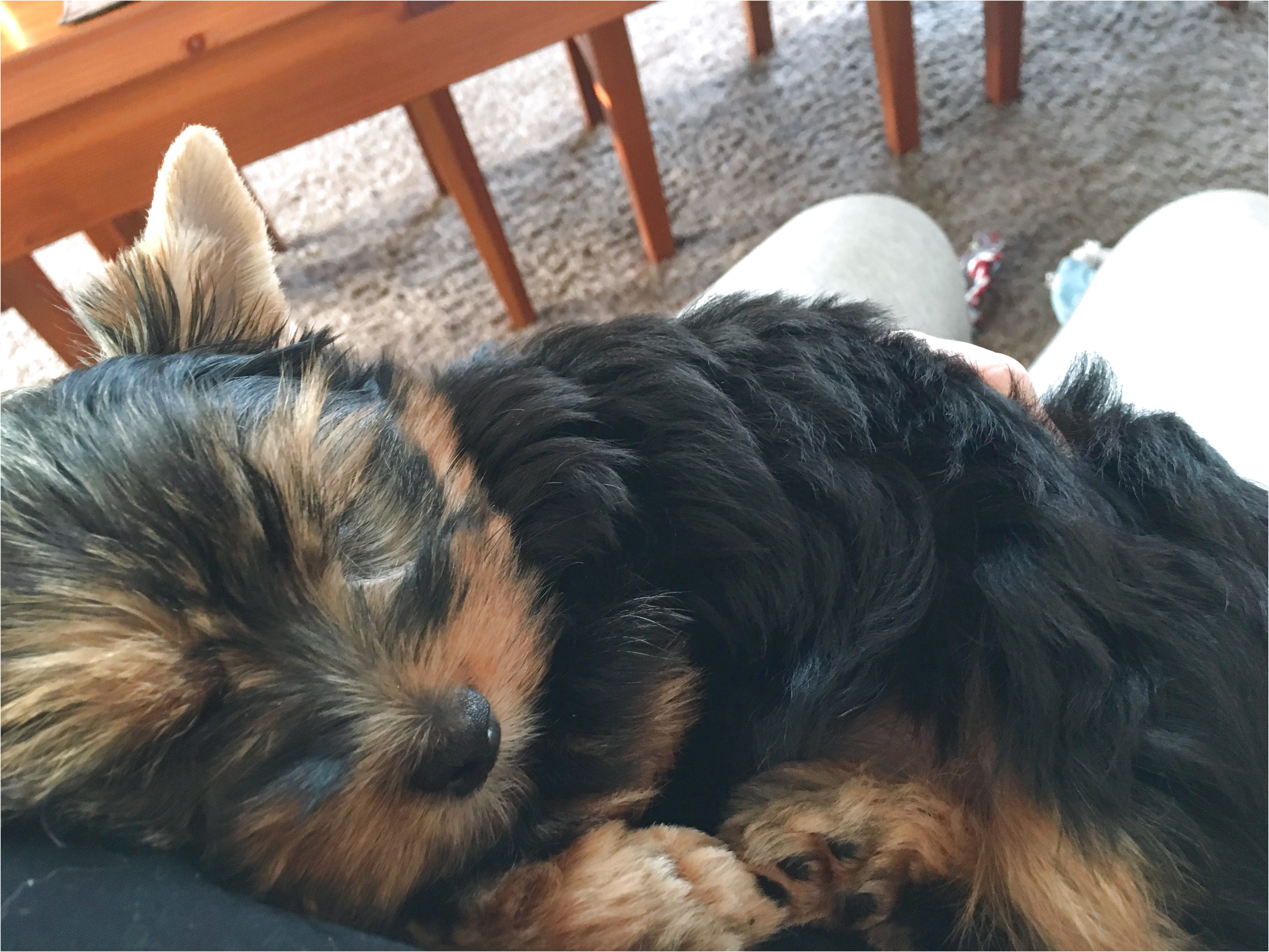 yorkshire terrier pups for sale vic