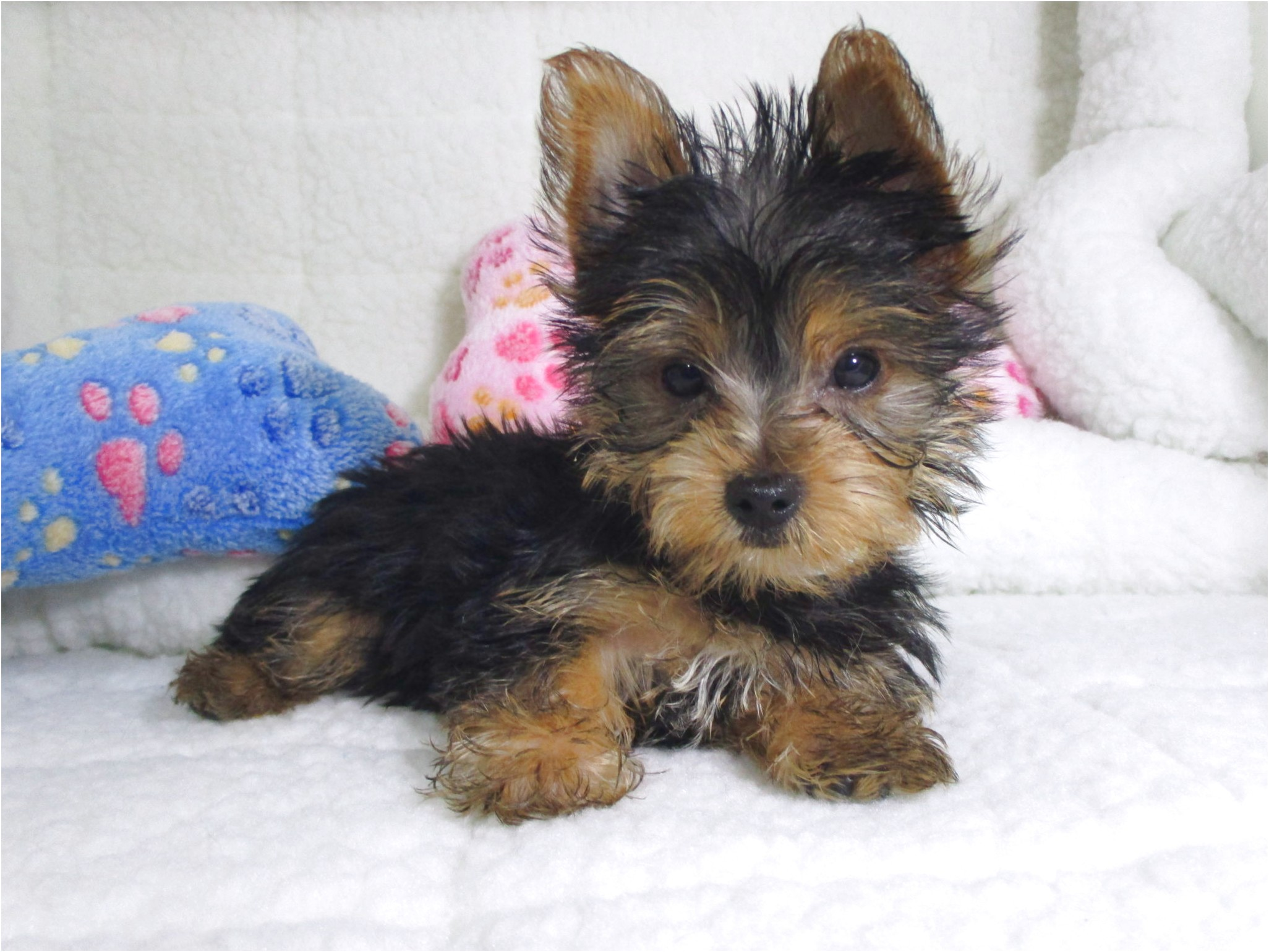 yorkshire terrier pups for sale victoria