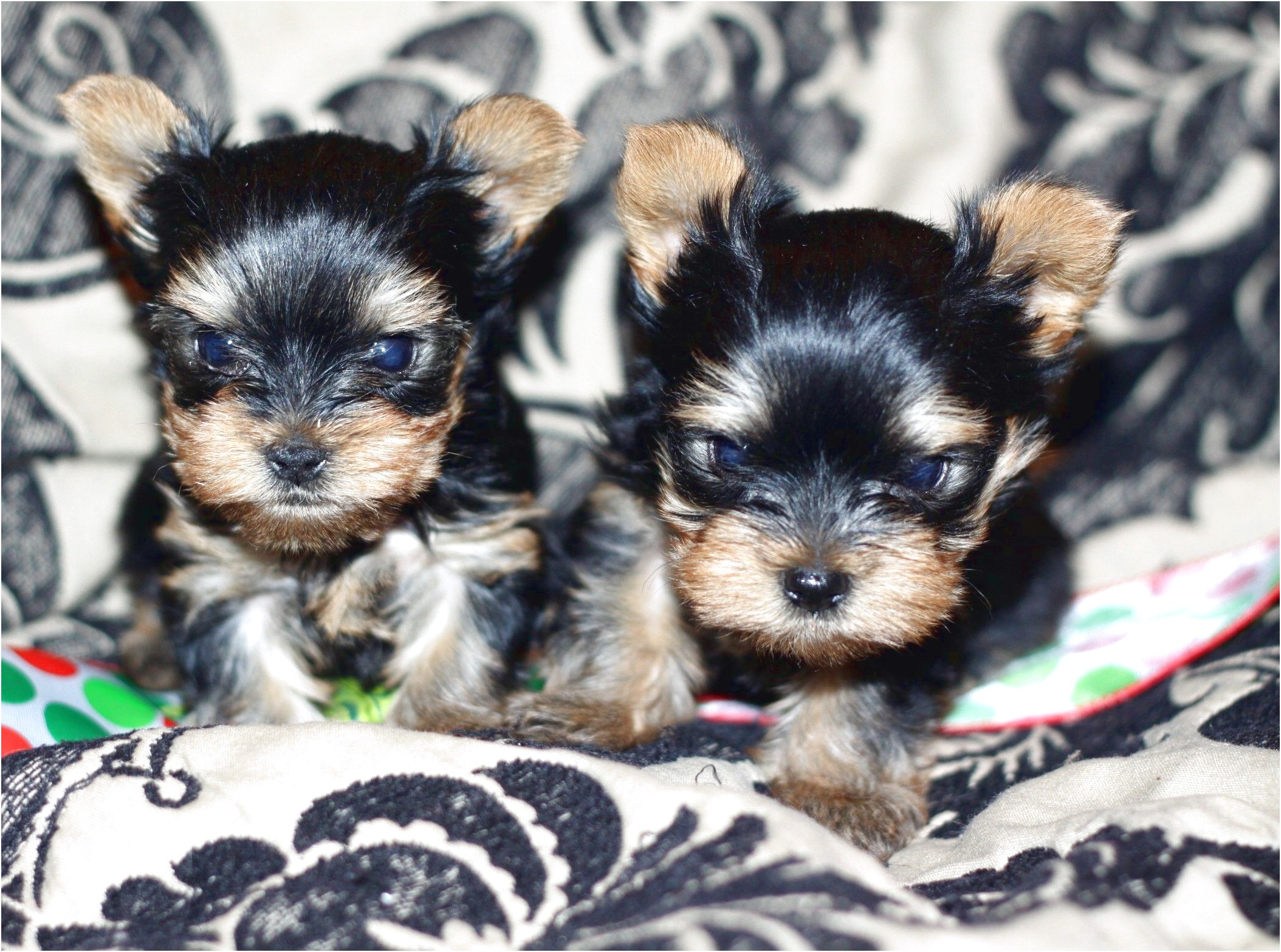 yorkshire terrier pups for sale wales
