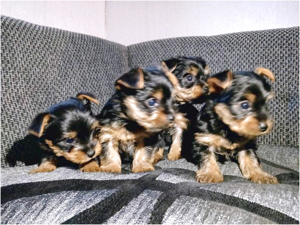 yorkshire terrier pups gumtree