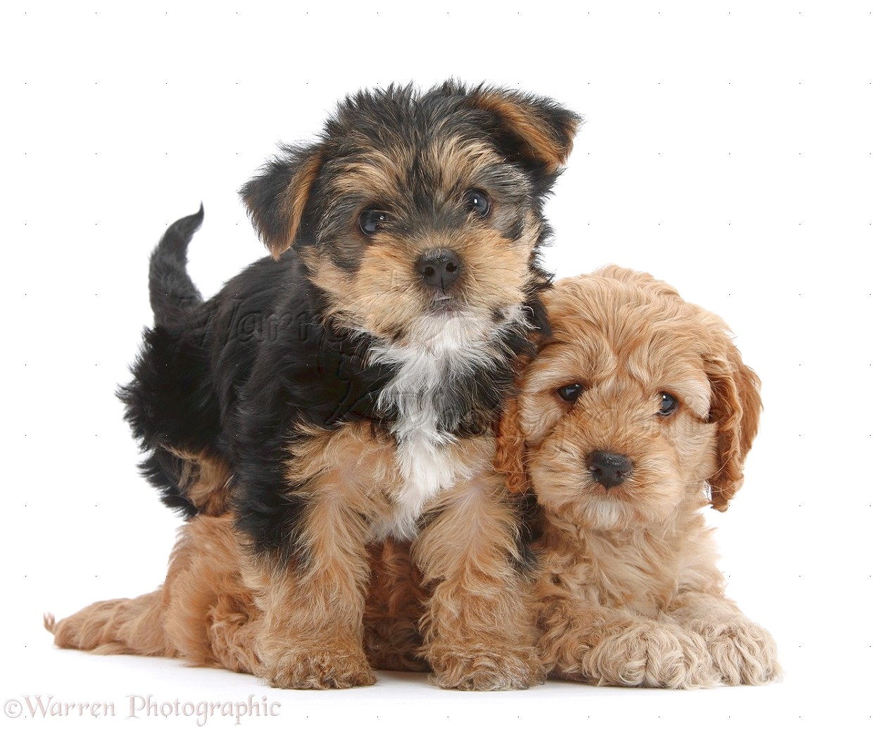yorkshire terrier pups in wales