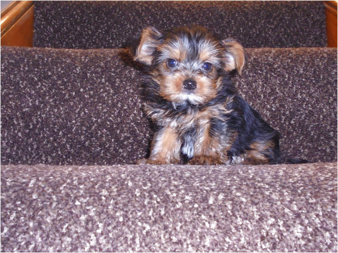 yorkshire terrier pups manchester