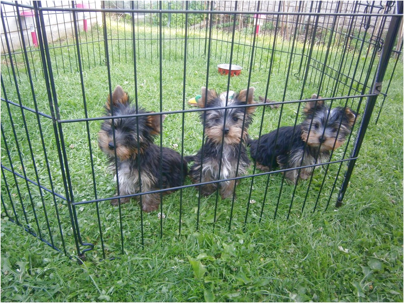 yorkshire terrier pups north wales