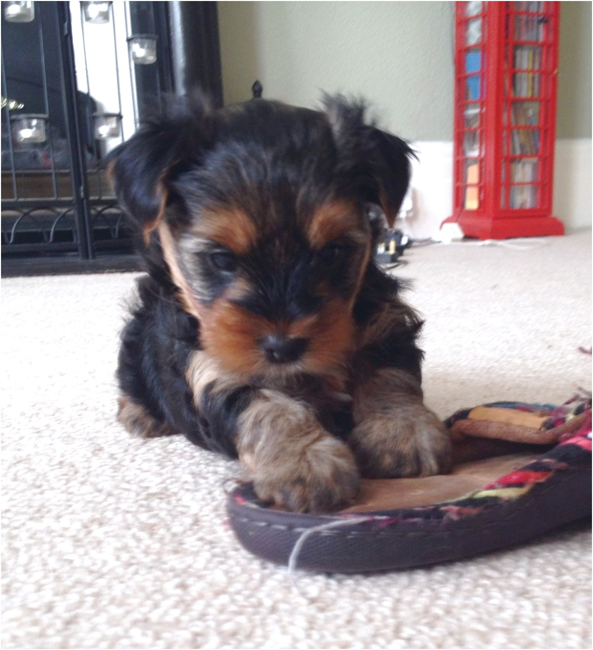 yorkshire terrier pups north west