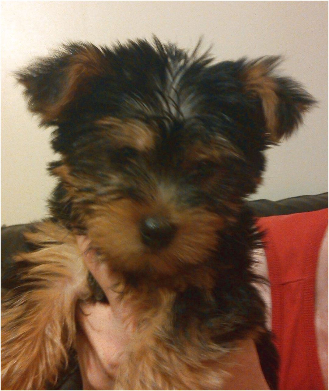 yorkshire terrier pups st helens