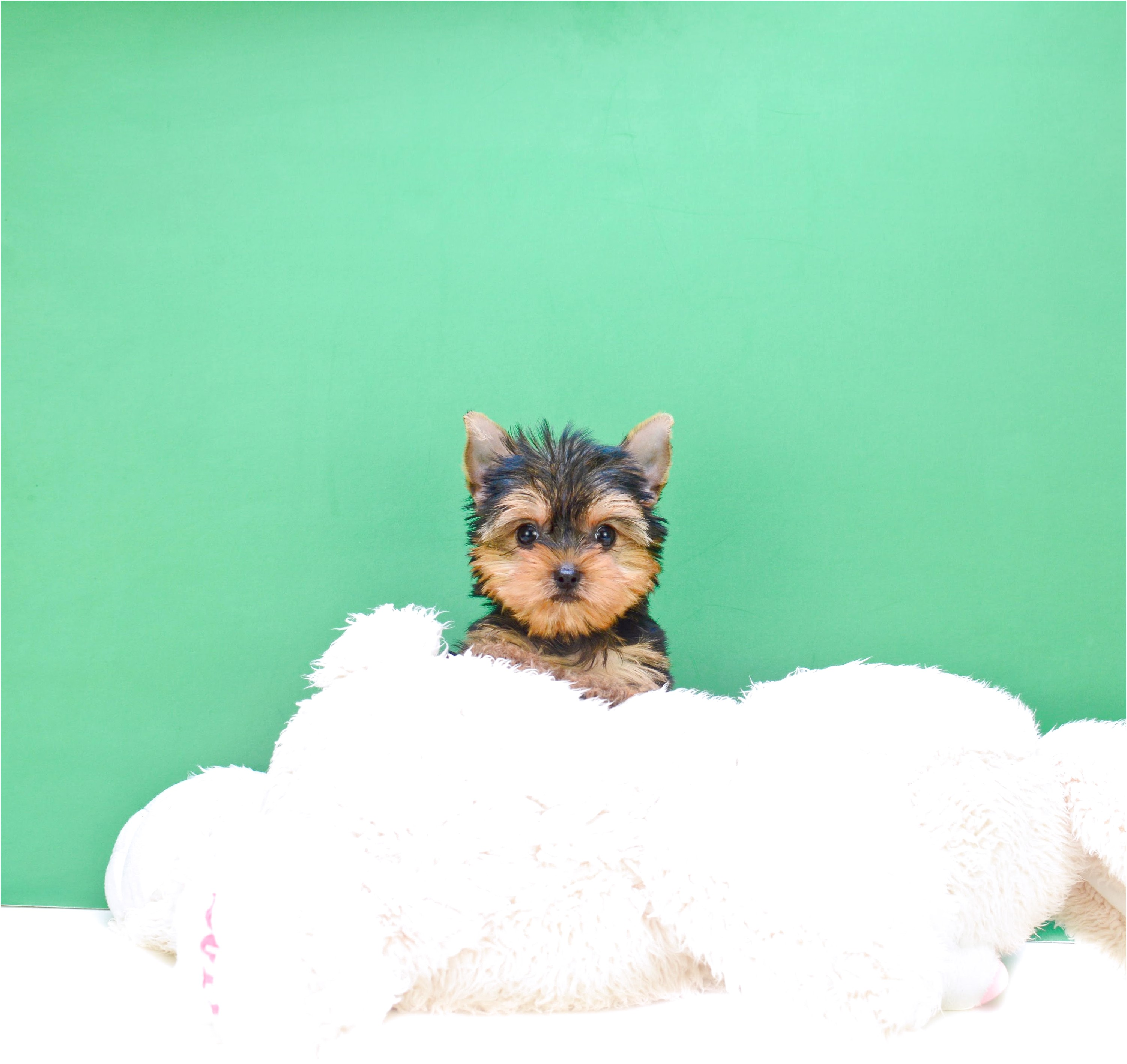 yorkshire terrier sale ohio