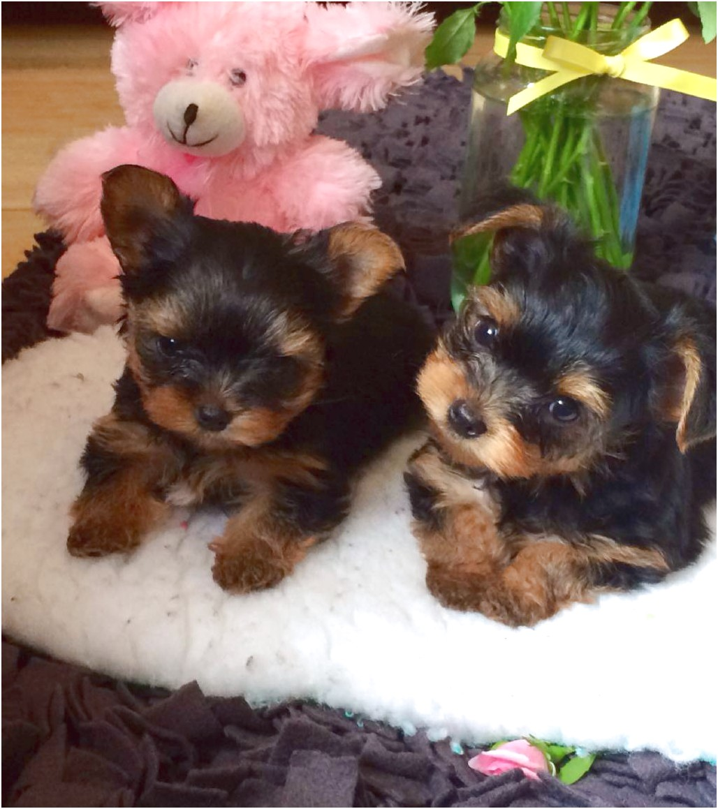 yorkshire terrier sale uk