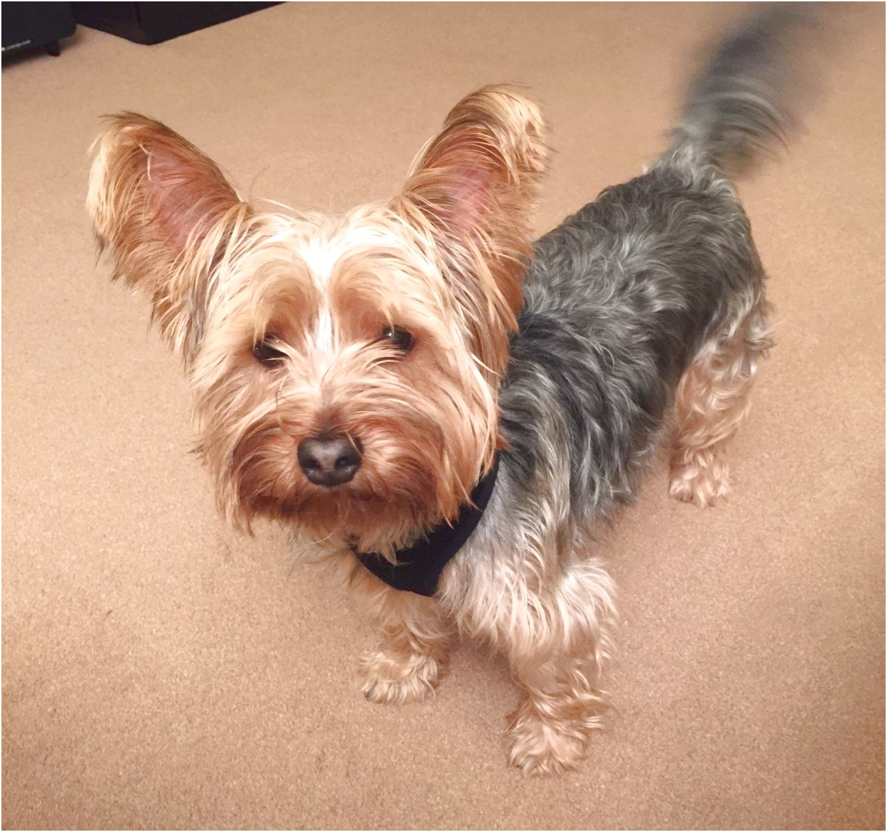 yorkshire terrier teacup for sale northampton