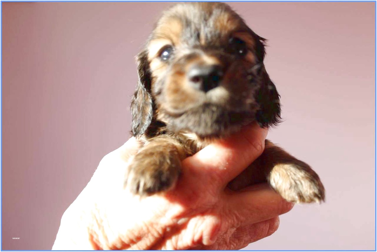 yorkshire terrier teacup puppies for sale near me
