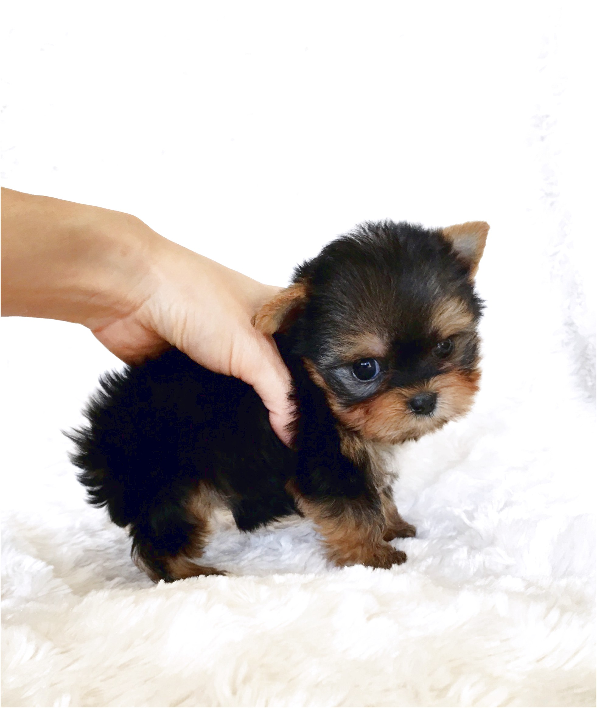 yorkshire terrier teacup puppies for sale