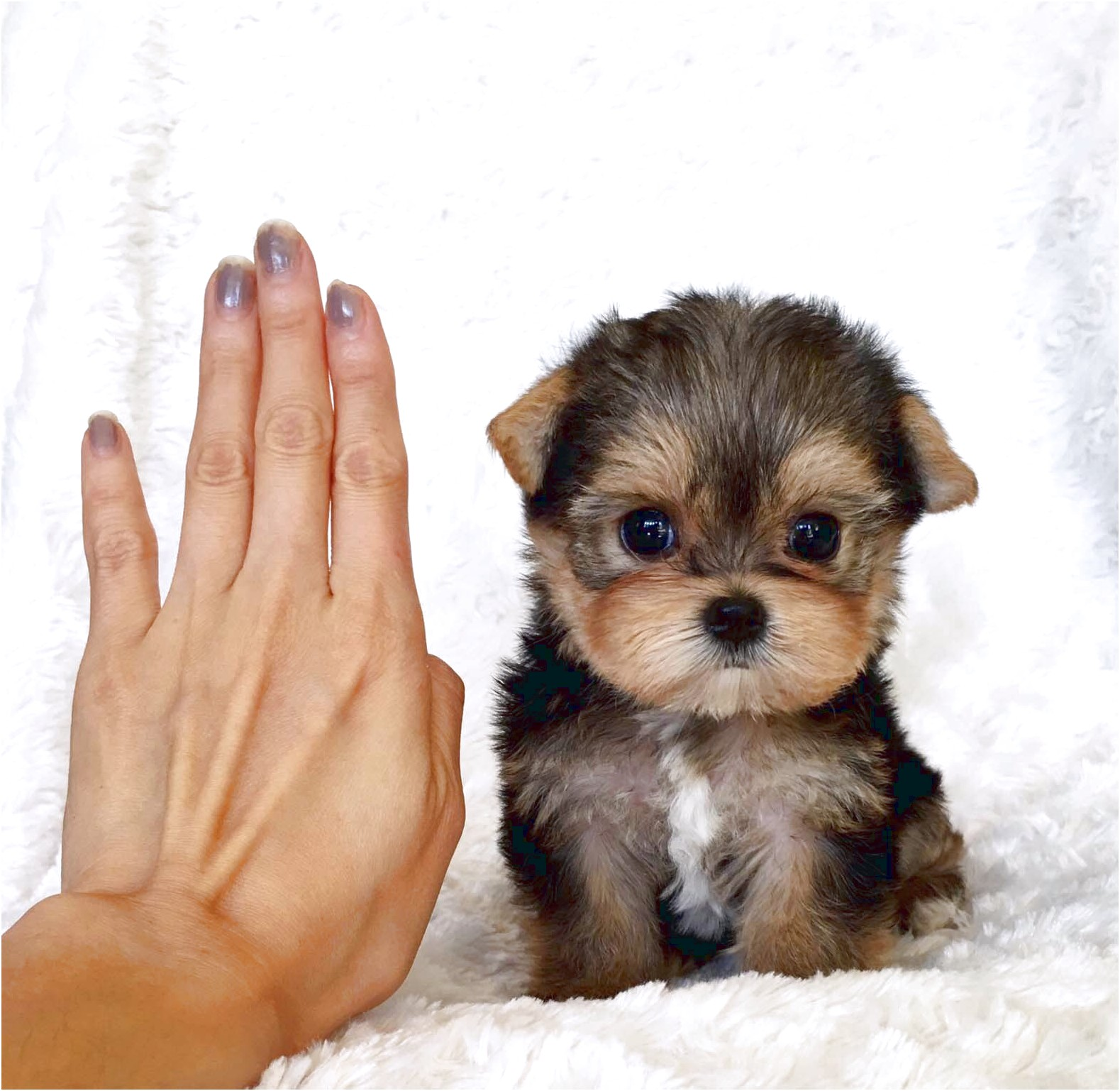 yorkshire terrier teacup pups