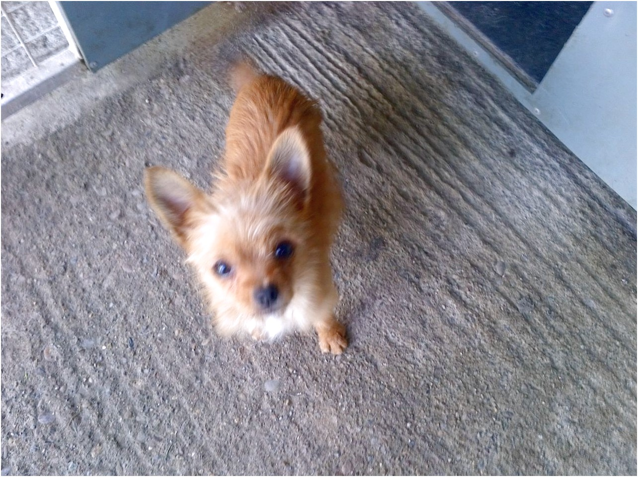 yorkshire terrier x chihuahua puppies for sale