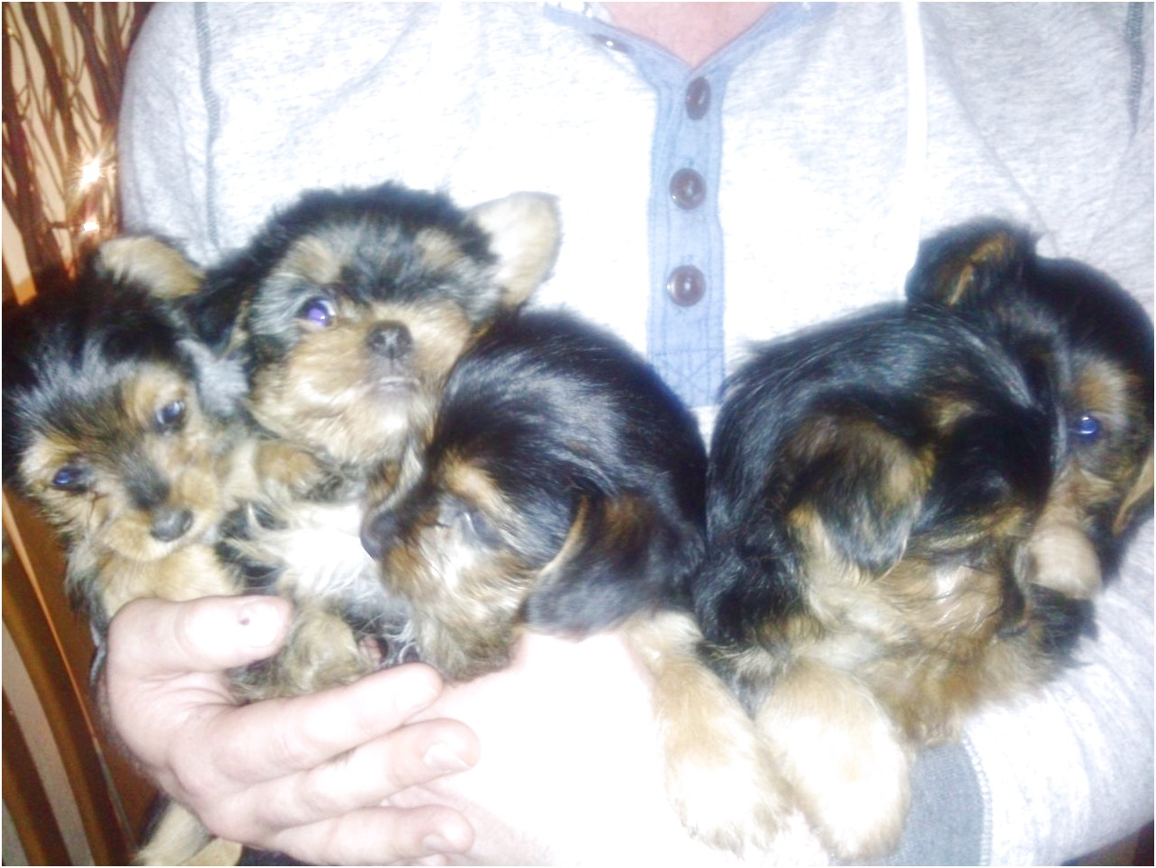 yorkshire terrier x puppies for sale