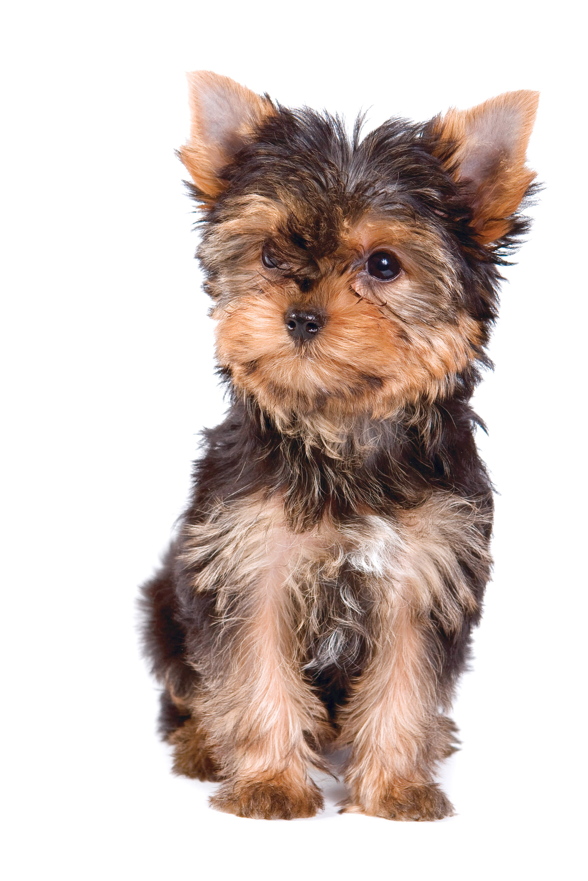 yorkshire terrier yorkie puppy