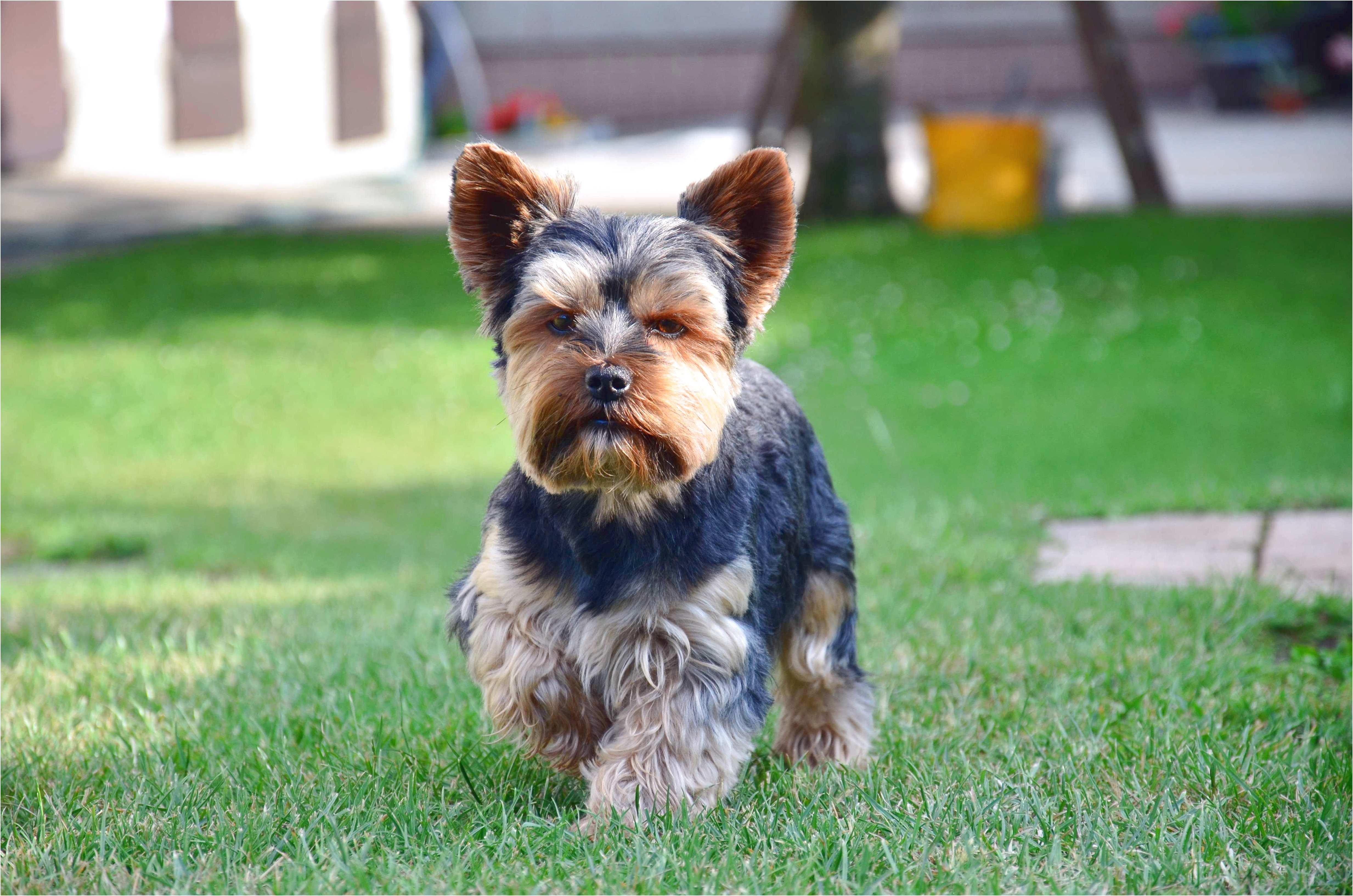 yorkshire terrier your purebred puppy