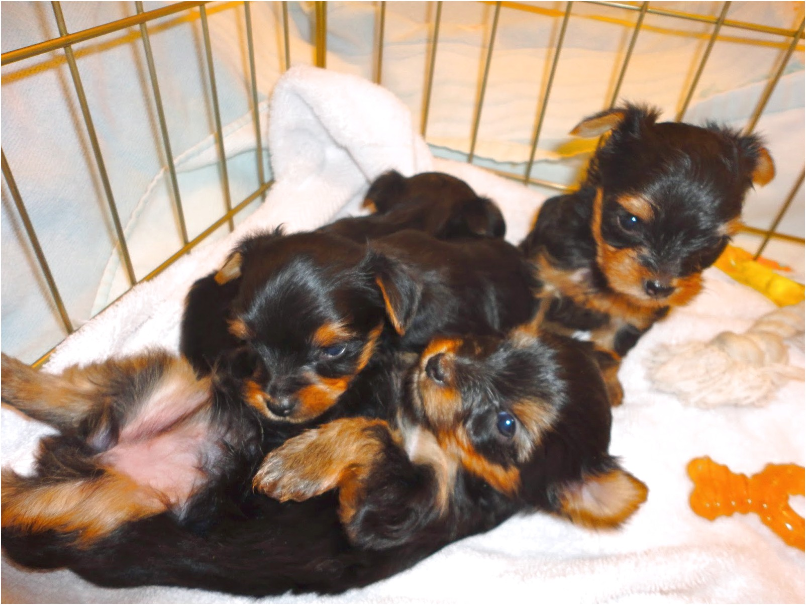yorkshire terriers 1 week old