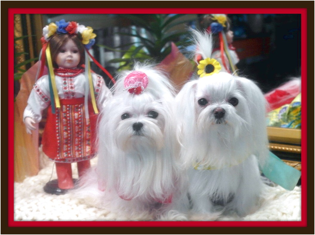 yorkshire terriers and maltese puppies woodstock ga
