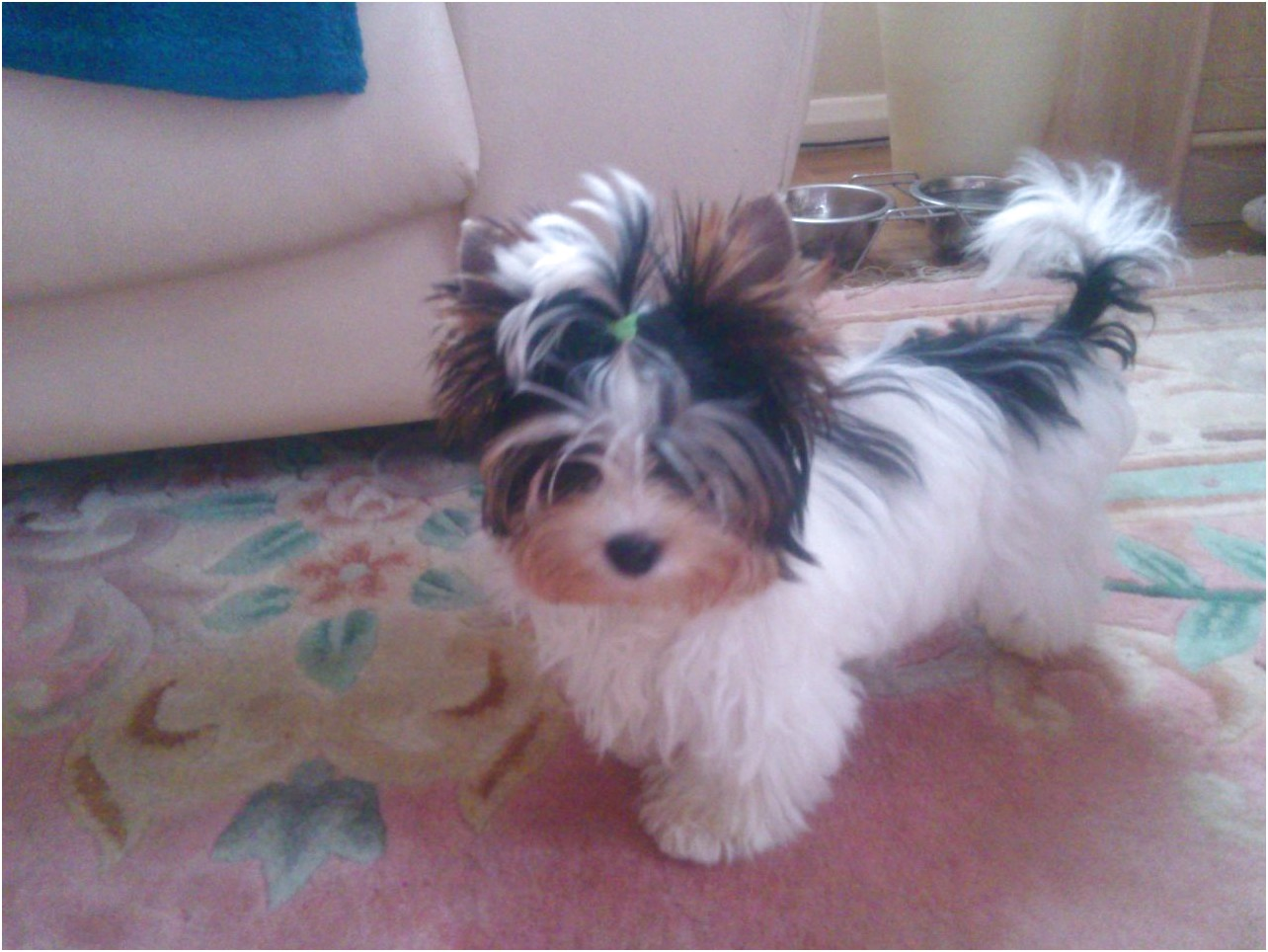 yorkshire terriers for sale in scotland