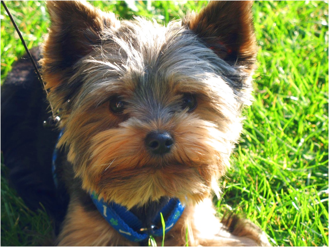 yorkshire terriers qld