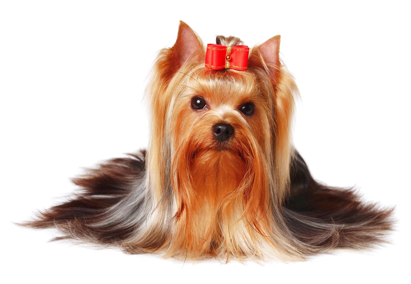yorkshire terriers temperament