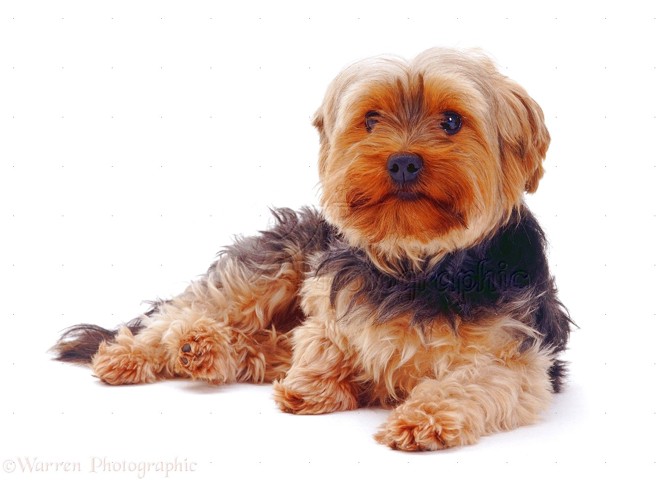yorkshire terriers uk